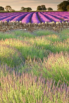 Lavender fields, Somerset, England