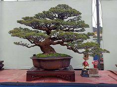 Bonsai Styles, Small Gardens, Trees, Nature, Gardening, Inspiration, Beauty, Plants, Fossils