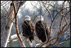 Nova Scotia has thousands of Bald Eagles Names Of Birds, Atlantic Canada, Canadian History, Prince Edward Island, Wildlife Art, Nova Scotia, Bird Watching, Pet Birds, Bald Eagles
