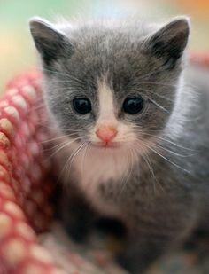 cute foster kitten Pearla from itty bitty kitty committee