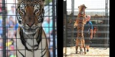"""Demand the USDA investigate and confiscate performing """"skeleton tigers"""" and other exotics NOW"""
