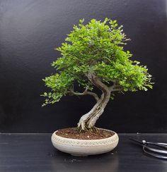 Chinese Ash #bonsai