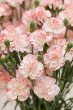 The carnation is the national flower of Spain, Monaco, and Colombia, but Bogota, Colombia is known for growing them. Carnations first came to the United St Most Beautiful Flowers, My Flower, Pretty Flowers, Flower Art, Carnation Plants, Carnation Bouquet, Birth Month Flowers, Pink Carnations, Sugar Flowers