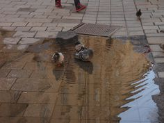 Wien. Pigeons take a bath in the center of the city