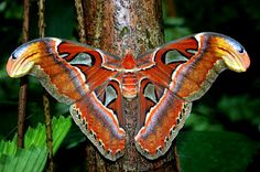 Atlas Moth (Attacus atlas), the largest moth in the world in terms of wing surface area. Their wingspan can reach up to ONE FOOT in length! They're said to be named after either the Titan of Greek Mythology which holds up the Earth, or because of its map-like patterns on the wings.