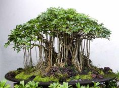 AERIAL ROOTS - this article has good advice on growing them on your Bonsai (will grow on Ficus, Schifflera, and Ivy Bonsai material). This has all the details and advice to do a great job beyond the information of using a humidity tent. When they are the size of thin wire, they break easily so you have to be careful when handling the plant.