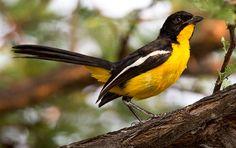 Crimson-breasted Shrike - yellow morph