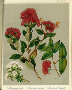 Sarah Featon, Rata - Sara FEATON Hand-coloured engravings from The Art Album of New Zealand Flora, It contained descriptions of the native flowering plants of New Zealand and the adjacent islands. Botanical Drawings, Botanical Art, Botanical Illustration, Illustration Art, Native Drawings, Hand Drawn Flowers, Free Illustrations, Native Plants, Hand Coloring