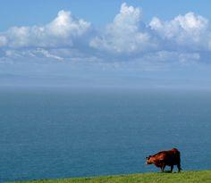 Cow,Bristol channel...sky.