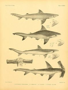 The fishes of India :. London :B. Quaritch,[1875]-1878.. biodiversitylibrary.org/page/5616187