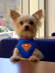 So cute! Got to get my Yorkie one for this year's Halloween.