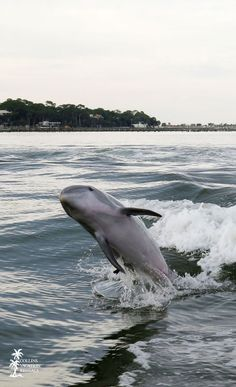 #Dolphins playing off the shores of St. George Island, Florida