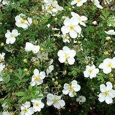 potentilla fruticosa - Google Search Shops, Plants, Google Search, Garden Centre, Nice Asses, Tents, Retail, Plant, Planting
