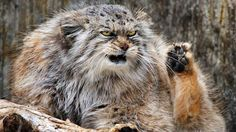 Cranky Zoo Cat Attracts Following | Photos - ABC News
