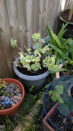 Egyptian Sage: This plant can be a bit of a pest, but I've potted mine up and it smells lovely. Today I repotted it and gave it a trim.