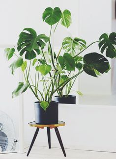 Le monstera, la plante tendance ! #maplantemonbonheur #homedecor #monstera
