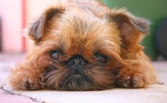 16 Things You Didn't Know About Brussels Griffons