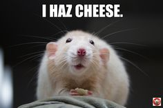 the cutest rat around ! Cute little Martin with some cheese. Guinea Pig Care, Guinea Pigs, Animals And Pets, Cute Animals, Dumbo Rat, Rat Toys, Fancy Rat, Pet Mice, Cute Rats