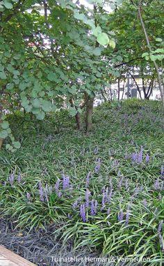 Liriope of leliegras is een goede bodembedekker onder bomen. Van oorsprong een bosplant. Verdraagt dus schaduw. De bloei is dan wel minder. Lees meer op onze blog http://tuinatelierhermanvermeulen.blogspot.nl/2014/10/leliegras-of-liriope-muscari.html