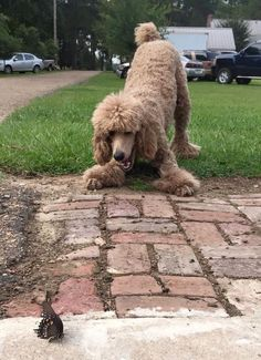 The Poodle Patch — Poodle having fun with a Butterfly… Have you had...