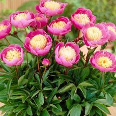 Apply a trowel-full of wood ashes and one of manure or compost to your peonies – more if you have large plants. If your peony never blooms, it is either planted too deep or in a too-shady location.  Martha Stewart Living Peony Bowl of Beauty Dormant Plants (Pack of 4)-70386 at The Home Depot