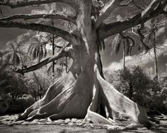 Ancient tree photography by Beth Moon, San Francisco Tree Woman, Old Trees, Beth Moore, Tree Photography, Reflection Photography, Nature Tree, Tree Forest, Amazing Nature, Belle Photo