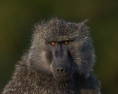 """""""I'm a Head-Turner"""" by Sushmitha Reddy: This baboon was out in the early hours on one of our safaris in Maasai Mara, Kenya. The spark in his eyes was shining so bright in the golden light that Icouldn't resist taking this portrait."""