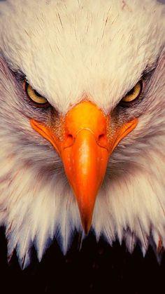Eagle Images, Eagle Pictures, Lion Images, Lion Pictures, Wild Animal Wallpaper, Eagle Wallpaper, Lion Wallpaper, Wallpaper Awesome, Beautiful Wallpaper