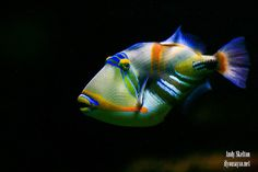 Saltwater Aquarium Fish - Find incredible deals on Saltwater Aquarium Fish and Saltwater Aquarium Fish accessories. Let us show you how to save money on Saltwater Aquarium Fish NOW! Underwater Creatures, Ocean Creatures, Colorful Fish, Tropical Fish, Beautiful Fish, Animals Beautiful, Simply Beautiful, Fauna Marina, Life Under The Sea