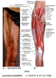 넙다리(대퇴)의 근육 12 - Adductor Longus 긴모음근 장내전근 長內轉筋 : 네이버 블로그