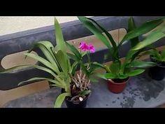 Dicas de orquídeas para iniciantes - YouTube