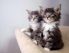 Mainecoon kittens! Need I say more?!