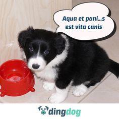 W kolejnym upalnym dniu łyk psilozofii, a jednocześnie przypomnienie. #DingDog #dog #pies #bordercollie #puppy
