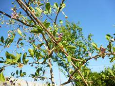 Δεν είμαι σίγουρος ποιο είδος Γκότζι Μπέρι φυτέψαμε, αλλά οι μέλισσες φαίνονται να εργάζονται εντατικά στα άνθη του. Στην Κίνα μάλιστα παράγεται αμιγή ποικιλία μελιού από Γκότζι. (Goji)