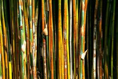 Bamboo Pruning and Care — Medium