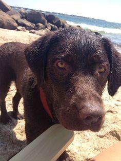 Labrador Retrievers love the beach! Too bad I don't Chocolate Labrador Retriever, Labrador Retrievers, Dogs Golden Retriever, Labrador Dogs, Golden Retrievers, Pet Puppy, Pet Dogs, Doggies, Cute Puppies