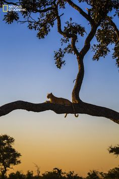 """The Entries For the Nat Geo Nature Photo Contest Will Make You Want to Travel ASAP The Best Spot on the Savannah """"Female leopard gazing out over the savannah in the Okavango Delta, Botswana."""""""