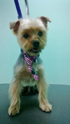 """Jazzy, after her makeover...  """"Nationally Ranked Award Winning Pet Stylists & Groomers! 5-Star Yelp Rating!""""  The UpScale Tail, Ltd., Pet Grooming Salon 630-632-TAIL www.theupscaletail.us"""