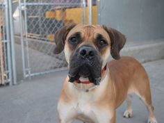 10/17/16 STILL THERE - CAME IN WITH CESAR (safe 10/14/16) Brooklyn Center MONA – A1092717 FEMALE, BROWN / BLACK, BOERBOEL MIX, 4 yrs OWNER SUR – EVALUATE, NO HOLD Reason NO TIME Intake condition EXAM REQ Intake Date 10/07/2016, From NY 11203, DueOut Date10/10/2016, I came in with Group/Litter #K16-077173