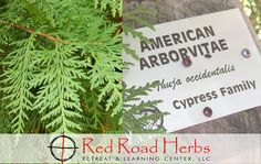 "The Greeks thought so highly of this tree they honored it with the name arborvitae or ""tree of life."" Native American tribes also consider it a sacred tree for healing, protection and cleansing. Its other names are White Cedar and Flat Cedar. Thuja occide http://www.wartalooza.com"