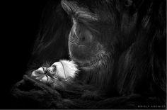 wolf admeit