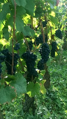 Picking begins in Burgundy:  Beautiful grapes in Vosne Malconsorts ! September 2015.