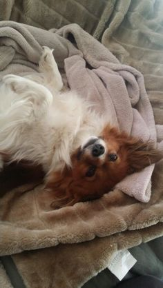Papillon dog . Daisy
