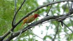 This male Summer Tanager molting into it's red breeding plumage was a crowd pleaser and a commonly sought bird by visitors to Magee Marsh over the first weekend! Leica V-Lux 3 #biggestweek https://www.facebook.com/photo.php?fbid=444659442229100=a.444659055562472.117192.355103211184724=3