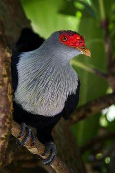 Seychelles blue pigeon (Alectroenas pulcherrimus) Сейшельский синий голубь