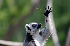 The Ring-tailed Lemur reaches for a dragonfly.