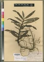 Angraecum floribundum