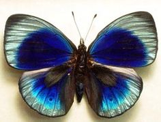 Callithea philotmia
