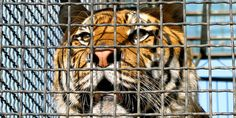 One circus tiger named Tora was whipped 31 times within a two-minute period. (41063 signatures on petition)