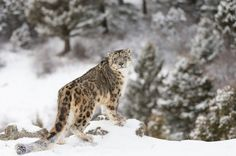 Are House Cats Just As Prepared For High-Altitude Living As Snow Leopards? | IFLScience  photo credit: Dennis W. Donohue/Shutterstock.